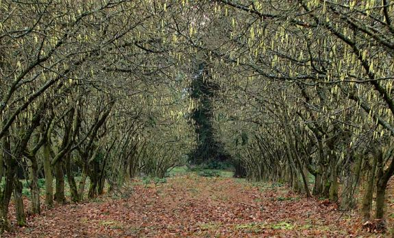 hazelnut-trees-1